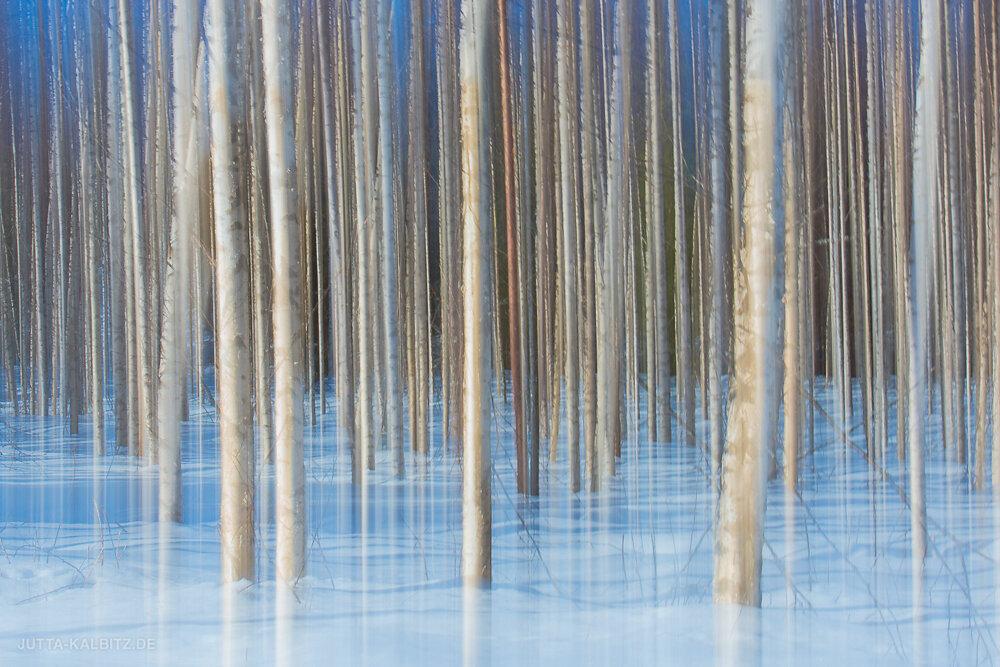 Winterbirken - Karelien