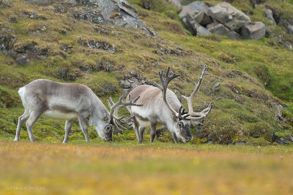 Svalbard-Fauna-1.jpg