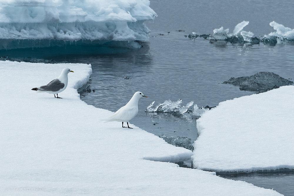 Svalbard-fauna-3.jpg