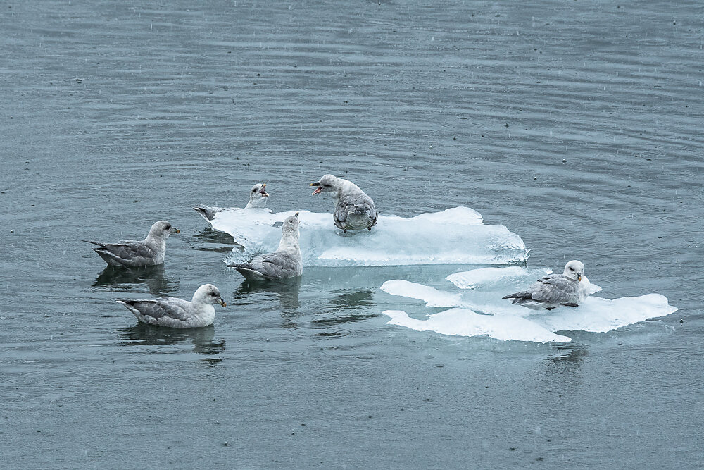 Eissturmvögel