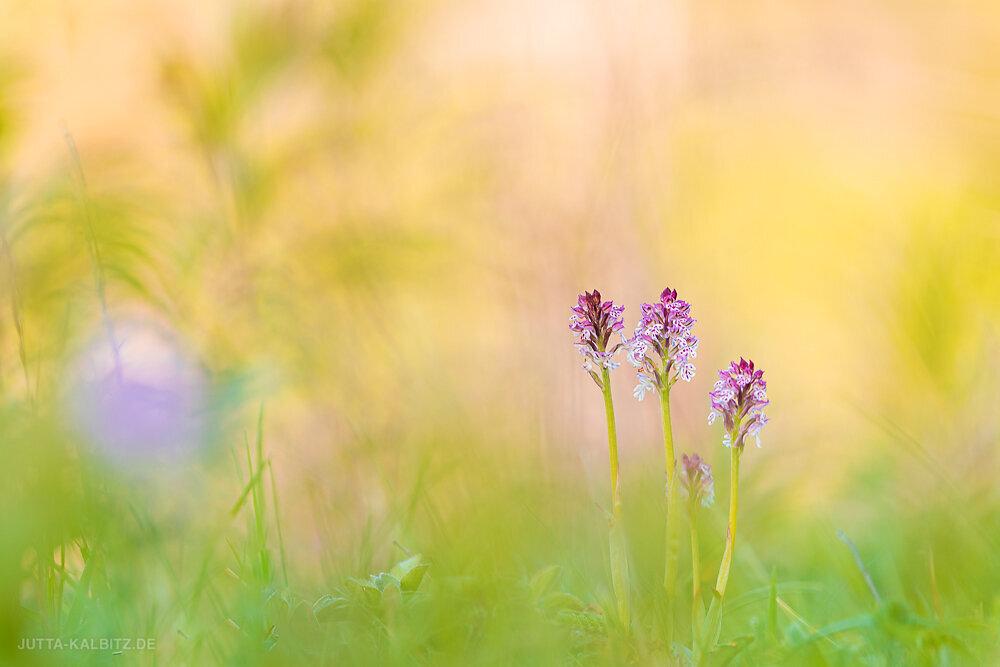 Orchideen-2020-1.JPG